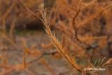 Tamarack Needles (fall)