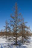 Tamarack in Winter