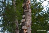Bracket Fungi (unknown species)