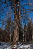 Scraggly White Pine
