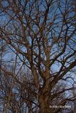 Gnarly Bur Oak