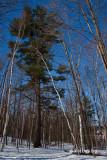 Grand White Pine