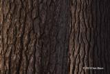 Buddies(White Pine trunks)
