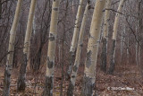 Big-toothed Aspen Trunks (young)