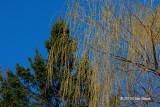 Golden Weeping Willow (Salix alba vitellina)