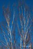Bare White Birch