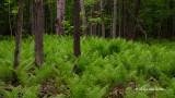 Forest of Ferns (Ostrich Fern)