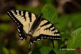 Swallowtails (Papillionidae)