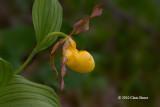 Yellow Lady's-Slipper (Cypripedium pubescens)