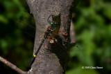 Swift River Cruiser (Macromia illinoiensis)