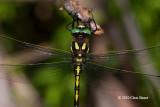 Arrowhead Spiketail (Cordulegaster obliqua)