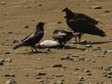 Raven Vs Vulture