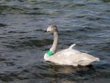 Whooper Swan,juvenile