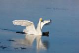 2.Whooper Swan breaks the ice