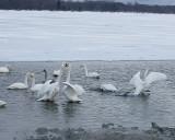 2.Swan fight between 2 groups