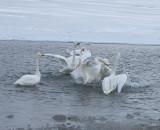 6.Swan fight between 2 groups