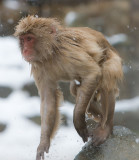 Snow Monkey getting out of water