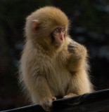 Snow Monkey baby from our room