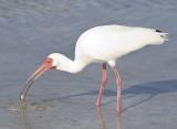 White Ibis gets crab