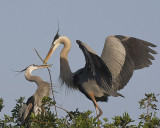Great Blue Herons with nesting behaviour