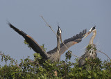 Great Blue Herins with nesting behaviour