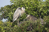 Great Blue heron with juvenile in nest