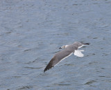 Laughing Gull in flight,first winter
