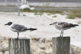 Laughing Gulls,one mature and the other first winter