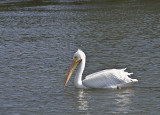 American White pelican in full breeding plumage
