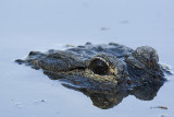 Alligator from another direction