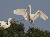 Great Egrets displaying nesting behaviour