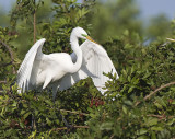 Great Egret prepares to fly