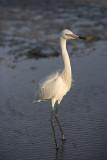 Reddish Egret,white Morph