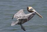 Brown Pelican in the air