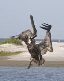 Brown Pelican going up