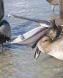 Brown Pelican gets the fish