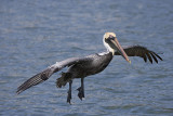 Brown Pelican takes to the air