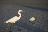 Great Egret with Snowy for contrast