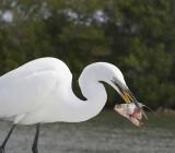 Great Egret eats his fish head