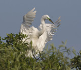 Great Egret Stretches