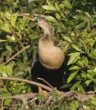 Anhinga,female
