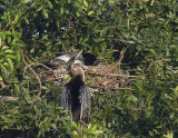 Anhingas and nest