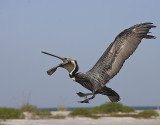 Brown Pelican prepares to catch a fish