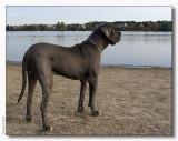 Big but sweet - German Dog