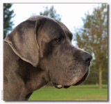 Lobbes - German Dog