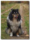 Shelley - 10 yrs old -Scottisch Shepherd - tricolor