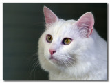 Oska - Turkish Van