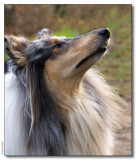 Angy (Mac�s sister) - Scottish Shepherd bluemerle