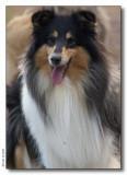Jara - Scottish Shepherd tricolor