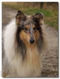 Angy - Scottish Shepherd bluemerle